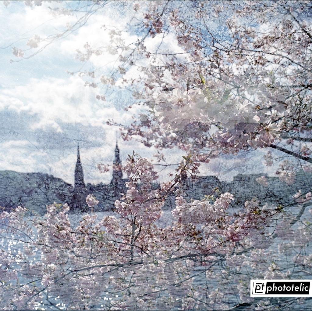 Sakura - Cherry Blossoms with Binnenalster in Background