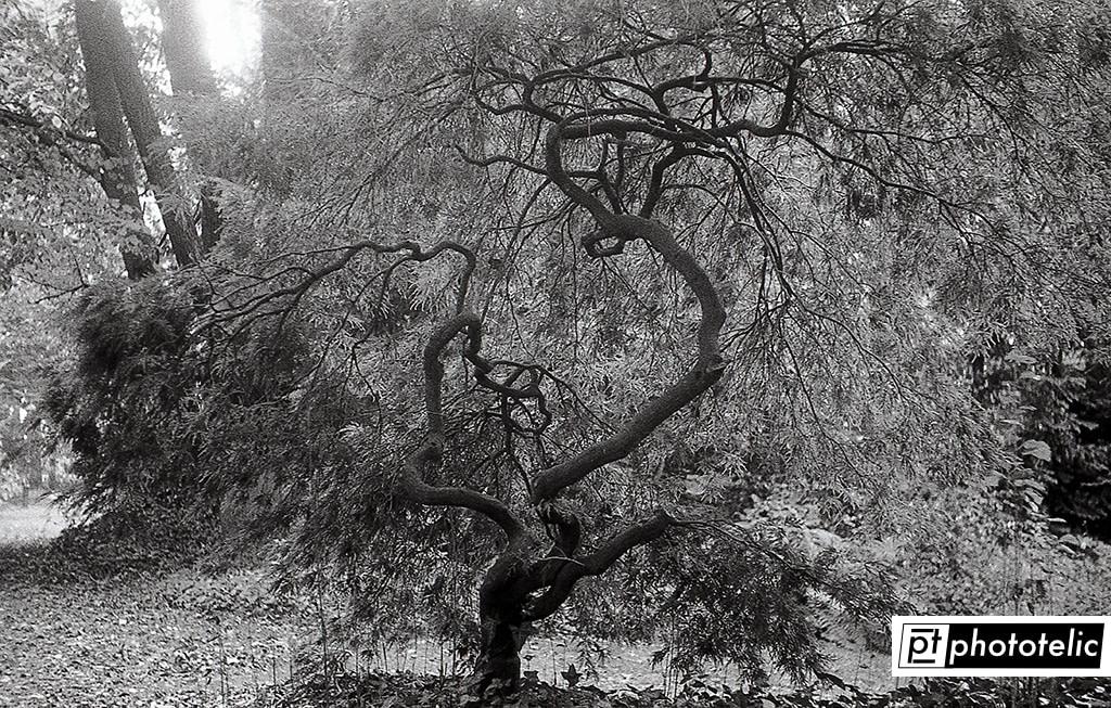 Maple Tree in Thieles Garten Bremerhaven